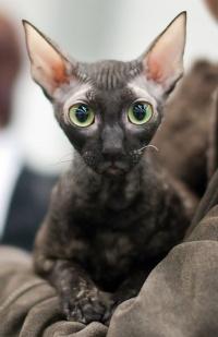 photo 123137 . IC Windseeker Rozy Black Pearl (Amelie) [CRX f] . 2009-04-04