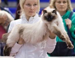 kuva 126069 . Cat's-JM Lazy-Leevi (Leevi) [RAG n] . 17.5.2009