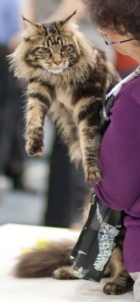 kuva 132057 . Mostlycats Justify (Justin) [MCO n 22] . 26.9.2009