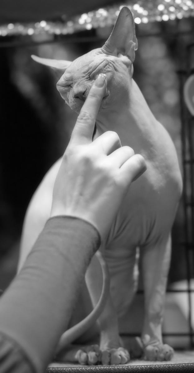 Voila Dionysos Van Anubis (Jimi) [SPH a], kuva 137064, 28.11.2009