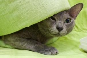photo 162112 . EP,EC Catfever's Anjing-Feng, DSM [KOR] . 2010-10-10