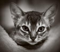 kuva 173184 . Silkkihienon Tan Tom [ABY n] . 14.5.2011