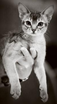kuva 173186 . Silkkihienon Tan Tom [ABY n] . 14.5.2011
