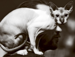 photo 178005 . BeautySphynx Elliot [SPH n 02 21 32] . 2011-09-03