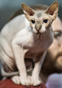 photo 178006 . BeautySphynx Elliot [SPH n 02 21 32] . 2011-09-03