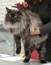 photo 186134 . SP,SC Sibcoon's Furr Purr (Wäiski) [SIB ns] . 2011-11-26
