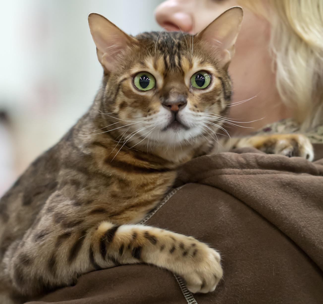 GIP CattiCartanon Sugar Panther (Seppo) [BEN n 24], kuva 194094, 28.4.2012