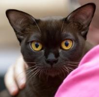 kuva 201006 . Lilac's Esmeralda Gypsygirl [BUR n] syntynyt 26.4.2012 . 25.11.2012