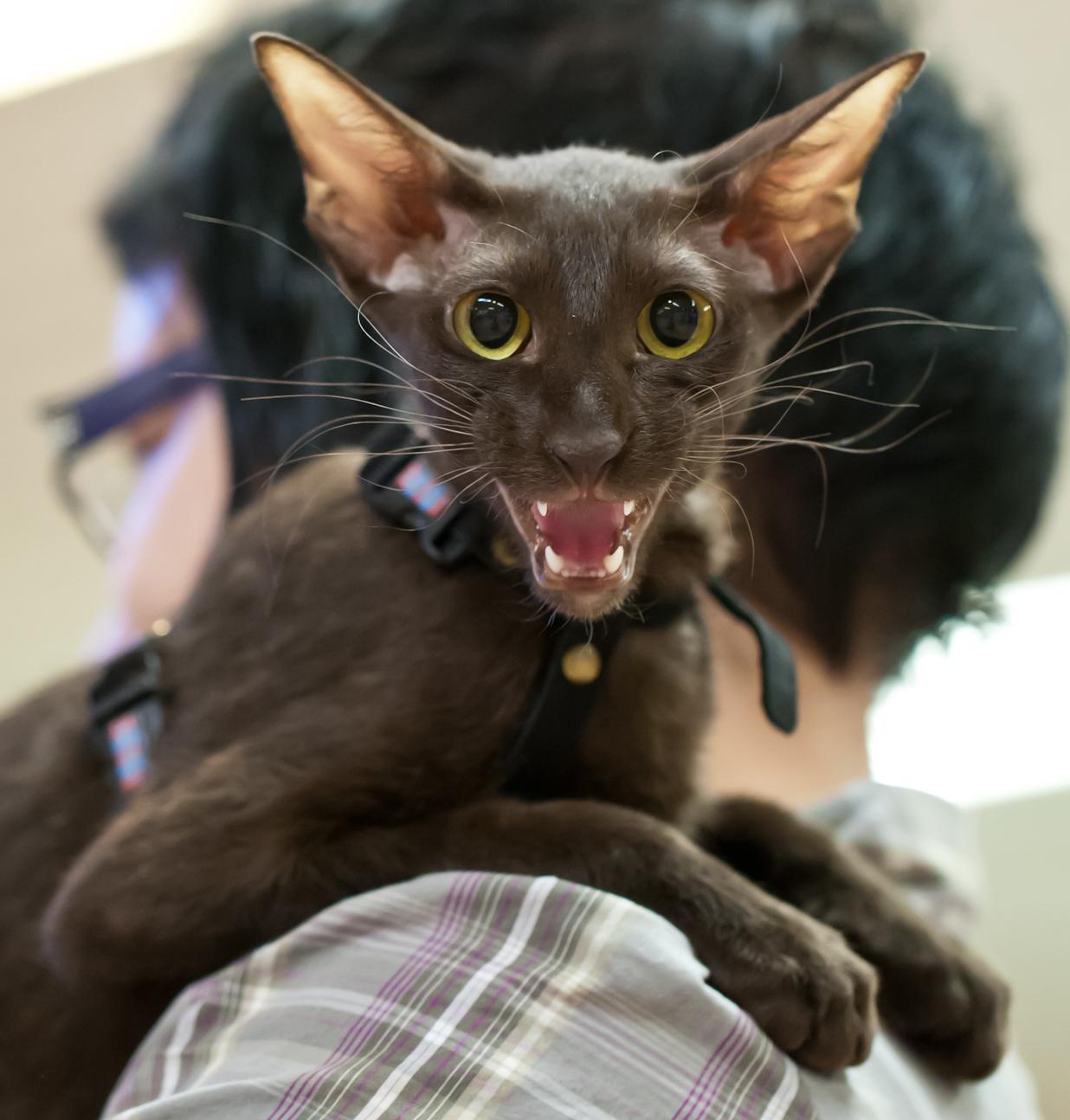 Chikita Glamour Queen (Tirri) [PEB x], kuva 201127, 25.11.2012