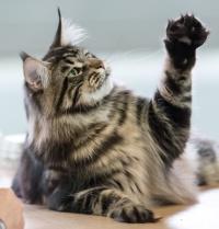 photo 213034 . Mostlycats Pinball Wizard (Welho) [MCO n 22] . 2013-10-13