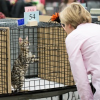 photo 214050 . CattiCartano Glen Moray (Morris) [BEN n 24] at the age of 4 months at shorthair kittens final . 2013-11-23