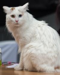 photo 217016 . CH Semiramisin Ak Opal Oglum (Luca) [TUV d 63] . 2014-01-25