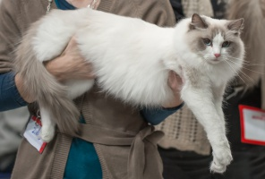 photo 217090 . Carpat Ragdolls Xperia [RAG a] . 2014-01-25