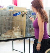 photo 223130 . TICA CH,FIFe IC CoonKitty Louis Vuitton [MCO e 09 23] (left) . 2014-07-12